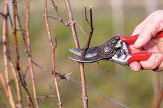 Ako a kedy rezať vinič? Nie je to až také zložité, ako by sa mohlo zdať | Záhrada.sk Pruning Shears, Garden Tools, Human Height, Gardening Scissors, Yard Tools