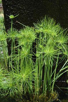 cyperus-prolifer-miniature-papyrus