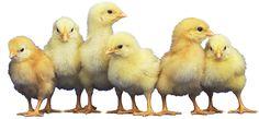 Chick's