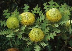 "Banksia ""Baxteri"" - Banksia - Proteas and Leucadendrons - Flowers by category Beautiful Flowers, Australian Native Flowers, Unusual Flowers, Amazing Flowers, Flowers, Australian Plants, Native Garden, Australian Wildflowers, Flora Flowers"