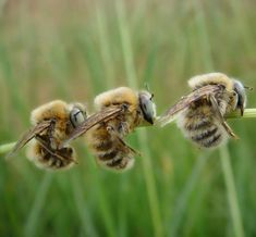 Male solitary bees sleeping by holding onto grass stalk.