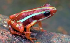Poison Arrow Frog (by Edd Noble)