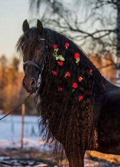 Rare Horses, Big Horses, Funny Horses, Black Horses, Beautiful Horse Pictures, Beautiful Arabian Horses, Most Beautiful Animals, Pretty Horses, Horse Mane