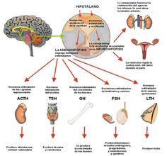 Ciclo ovárico El ciclo ovárico es un proceso que comienza con la maduración del eje hipotálamo hipofisario. Cuando se inicia esa maduración comienza la pubertad. El Hipotálamo secreta la hormona li...