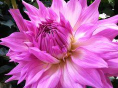 Dahling flower by LeeSpei