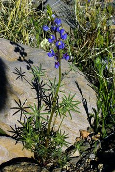 Lupinus sparsiflorus Arroyo Lupine, Coulters Lupine  Habitat: bajadas, roadsides, disturbed areas Desert Plants, Plants, Lupines, Roadside