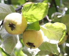 My quinces
