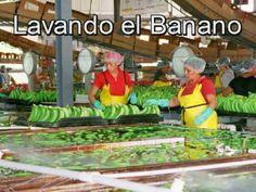 Finca de Banano, San Manuel. Honduras.