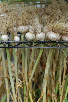 Harvest onions and hang them on racks...