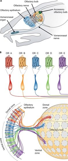 Anatomy of the rodent peripheral olfactory system. (A) Schematic representation of a parasagittal section through adult mouse head. Axons of the OSNs in the main olfactory epithelium comprise the olfactory nerve and innervate the olfactory bulb. Vomeronasal sensory neurons project their axons via a separate tract, the vomeronasal nerve, to innervate the accessory olfactory bulb. (B) Each OSN of the main olfactory epithelium expresses only one odorant receptor gene (OR A, OR B, OR C, etc.)…
