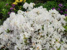 nova scotia rhododendron - Google Search