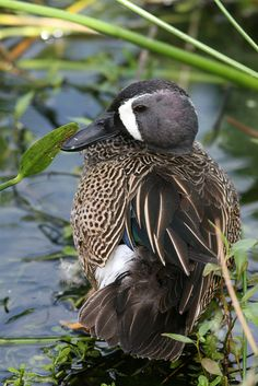 "birdsic: "" blue-winged teal… hope they will as easy to find on Staten Island as they were in Florida! """