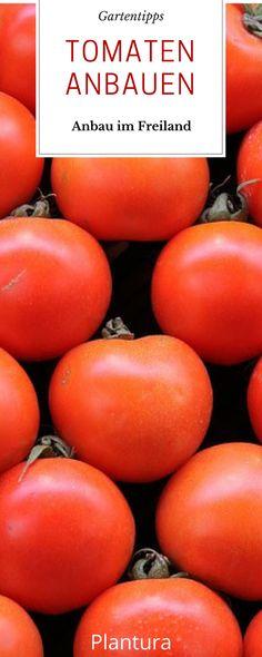Tomaten zählen nicht nur zum festen Sortiment im Supermarkt. Auch im Garten dürfen Tomatenpflanzen nicht fehlen. Erfahren Sie hier alles zum Anbau im Freiland. #Tomate #Anbau
