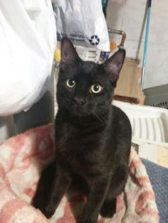 MARCELO - Gato adoptado - AsoKa el Grande