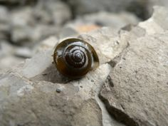 This shell belongs to the terrestrial 'garlic glass snail' (oxychilus allarius).  Any guesses on how it gets its name?