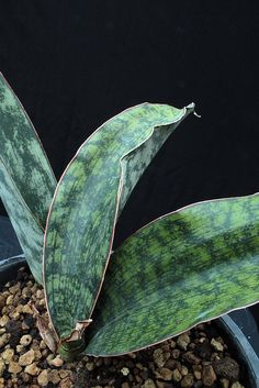 Sansevieria sp ES 22261 (blue leaves, smooth) Tanzania SE of Mangalisa  (7)