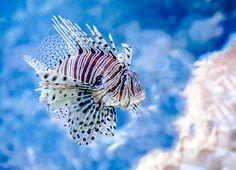 Dorothea Garbisch, »Feuerfisch«, Lobende Erwähnung, 1 Punkt, Thema: Tiere – Kategorie: Unterwassertiere