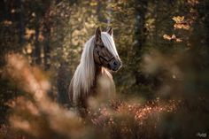 photo : Ponyliebe Fotografie by Ann-Christin Vogler Equine Photography, Photography Photos, Animal Photography, All The Pretty Horses, Beautiful Horses, Warrior Cats, Equine Art, Fairy Art, Art Dolls