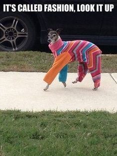 Fashion, italian greyhound style. however, i could see a certain Coffee type grey wearing this creative outfit
