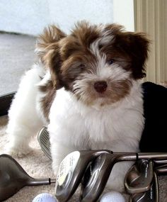 White Havanese The cutest Havanese puppy. Black and white. leaning on a red Havanese & Coton de Tulear, AKC, Havanese Puppy Havanese Breeders, Havanese Puppies For Sale, Havanese Grooming, Havanese Dogs, Cute Puppies, Pet Dogs, Dogs And Puppies, Havanese Haircuts, Doggies