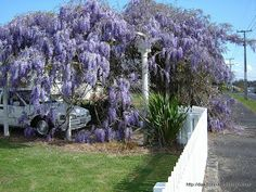 Exile in New Zealand: This Wisteria was seen near the Te Rapa swimming pool.