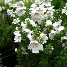 Prostanthera cuneata - muntstruik Side Garden, Plant Sale, Native Plants, Garden Plants, Portraits, Rose, Flowers, Shrubs, Pink