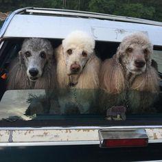 Three Standard Poodles in car window.