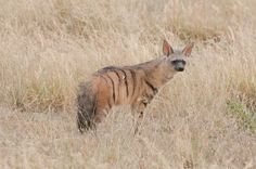 """The """"Aardwolf"""" - A lucky sighting of the elusive """"aardwolf"""" at Sunday Pan, Central Kalahari Game Reserve.  March 2010"""