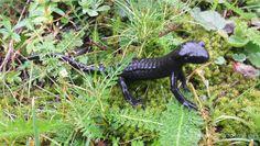 Black salamander by SCvanAlphen