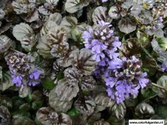 Ajuga reptans 'Black Scallop' | Colorful Garden Zenegroen Bodembedekking groenblijvend