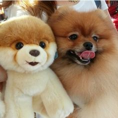 Boo the Pomeranian Dog with her Twin Lookalike Cuddly Toy
