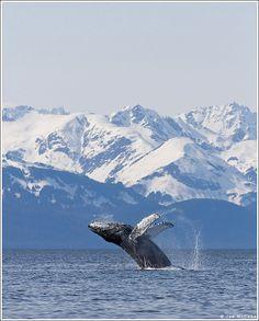 whale watching in Alaska!