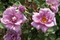 St. Katharine's   Ludwigs Roses: The colour is the deepest mauve-blue. An ideal little shrublet of just over knee height which may even be used as a groundcover. The slender buds open into semi-double blooms & they exude a powerful fragrance.