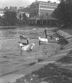 Stephens Green late Taken by Clarke Old Pictures, Old Photos, Dublin City, Dublin Ireland, Old City, Ducks, Pond, Irish, Old Things