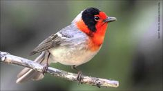 Red-faced Warbler Song: love his song