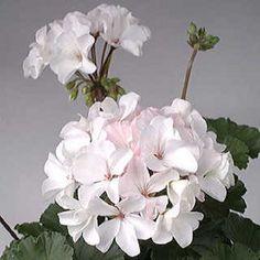 15 Geranium Seeds Multi bloom White #multibloomwhite
