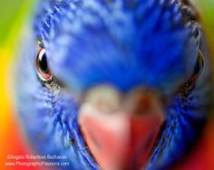 8x10 inch Rainbow Lorikeet fine art bird by photographicpassions, $25.00