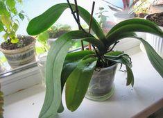 Чесночное лакомство для орхидей: обильное цветение гарантировано — Мир интересного
