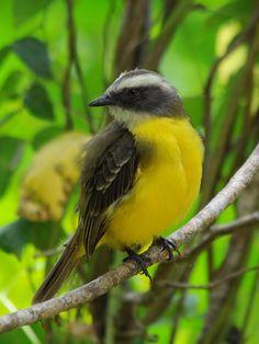 Social Flycatcher, Gamboa - Panama | Flickr - ©  Ana Silva