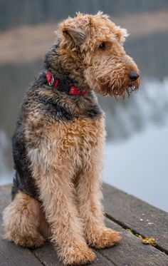 Heres a full list of the dogs who called the White House home. Heres a full list of the dogs who called the White House home. Welsh Terrier, Airedale Terrier, Wire Fox Terrier, Terrier Puppies, Dogs And Puppies, Doggies, White Terrier, Chihuahua Dogs, Terrier Mix