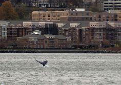 Cette photo prise le 20 novembre entre la 48e et la 60e rue de Manhattan montre une baleine à bosse nageant dans les eaux de la rivière Hudson. En arrière-plan, la côte du New Jersey. Depuis une semaine, la baleine a été repérée en divers endroits du port de New York et de la rivière Hudson, depuis Pier 11, à l'est de Manhattan, jusqu'à Washington Bridge, dans l'Hudson River. Craig Ruttle / AP