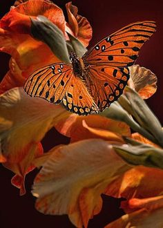 Orange butterfly perched on orange flowers. Papillon Butterfly, Butterfly Kisses, Butterfly Flowers, Orange Butterfly, Monarch Butterfly, Butterfly Chrysalis, Flying Flowers, Butterfly Photos, Black Flowers