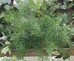 """Asparagus Fern Botanical name Asparagus densiflorus Zone Grow as an annual. Bloom time No Bloom Light sun Height 12-24"""" (31-61 cm) Habit arching Water1-2 times per week Feed once a month"""