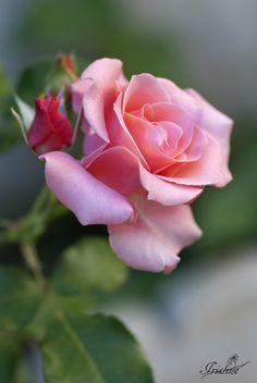 rosa rosa by Sara Torcal on 500px.