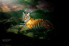 Tiger Painting style. - Behavior of the tiger Painting style.