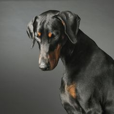 Precious Doberman with uncropped ears