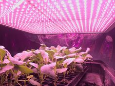 You can set artificial lights to turn on and off by themselves using timers. Handy, right? But how long to keep light on your seedlings?