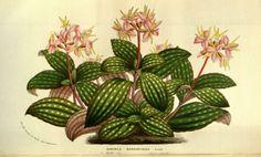 v.11 (1856) - Flore des serres et des jardins de l'Europe - Biodiversity Heritage Library