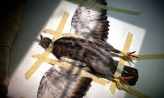 Rescuing the Birds Many Hate //  A pigeon was strapped to the X-ray table with medical tape for an exam last month. // Richard Perry/The New York Times