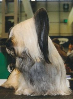 Dog breeds developed in Scotland include;smooth and bearded collies, cairn and Skye terriers, Gordon setters and the deerhound. Skye Terrier, Terrier Dogs, Terriers, Doggies, Dogs And Puppies, Dandie Dinmont Terrier, Gordon Setter, Bearded Collie, Terrier